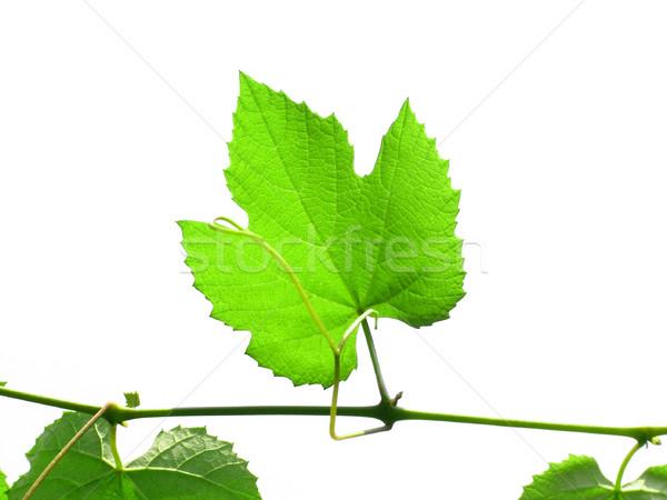 Wijnstok groene wijnstok bladeren geïsoleerd witte Stockfoto © claudiodivizia
