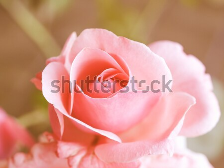 Rose Stock photo © claudiodivizia