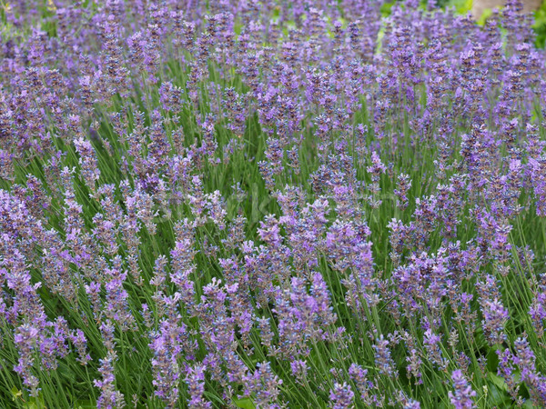 Lavender flowers Stock photo © claudiodivizia