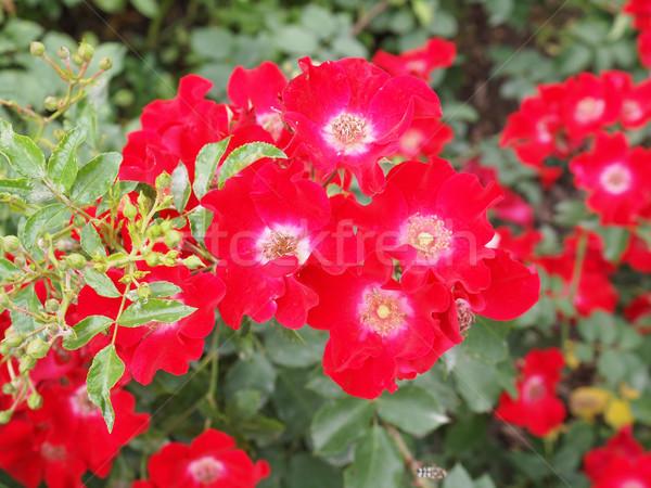 Stock photo: Wild rose flower