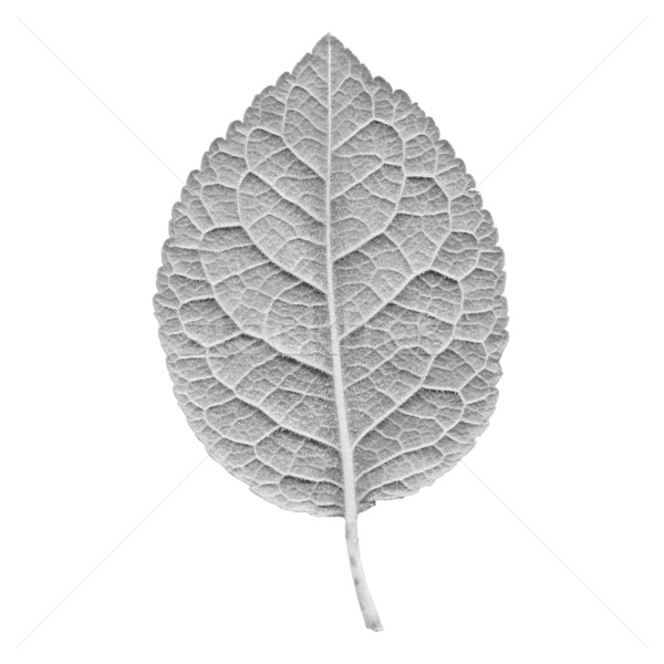 Prune leaf Stock photo © claudiodivizia