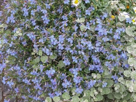 Viola flower Stock photo © claudiodivizia
