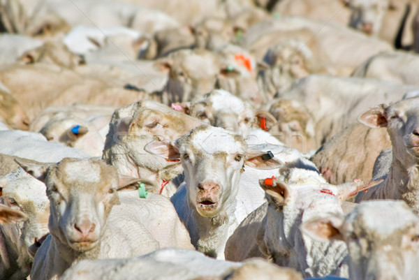 flock of sheep  Stock photo © clearviewstock
