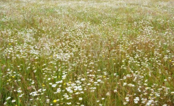 Sonhador campo flores belo branco margarida Foto stock © clearviewstock