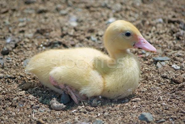 Aranyos kiskacsa kicsi baba fotó állat Stock fotó © clearviewstock