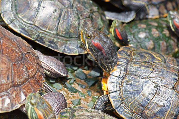 tortoises crowded together Stock photo © clearviewstock
