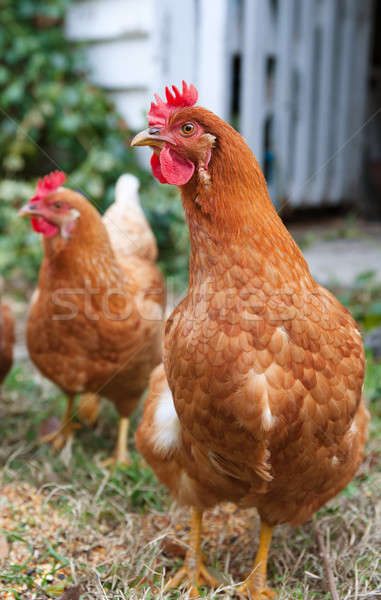 isobrown chickens in yard Stock photo © clearviewstock