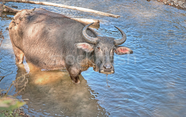 water buffalo in river Stock photo © clearviewstock