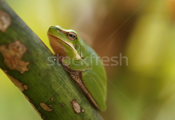 dwarf green tree frog in plant Stock photo © clearviewstock