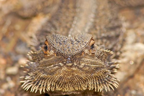 Foto stock: Lagarto · olhando · câmera · central · barbudo · dragão