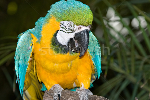 macaw laughing or crying Stock photo © clearviewstock