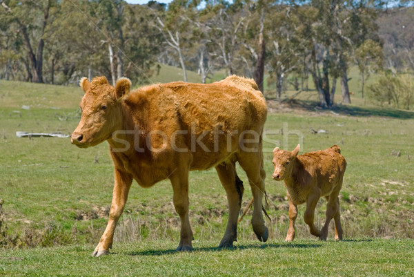 mother cow and calf Stock photo © clearviewstock
