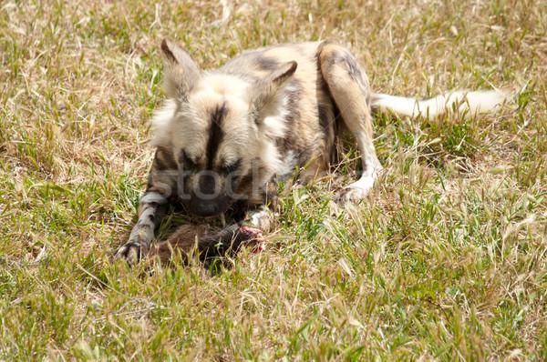 Vadászkutya eszik hús fotó kutya Stock fotó © clearviewstock