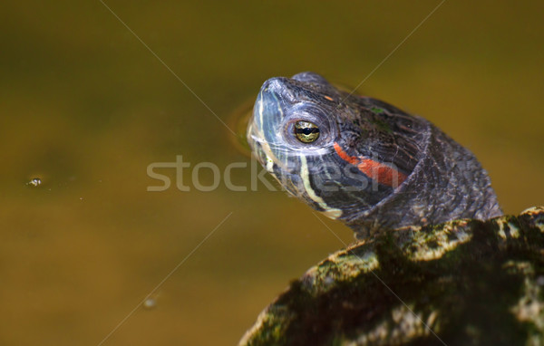 tortoise in the water Stock photo © clearviewstock