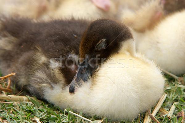 Alszik kiskacsa gyönyörű kicsi fiatal baba Stock fotó © clearviewstock