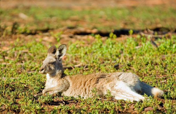 Kenguru fektet reggel nap keleti szürke Stock fotó © clearviewstock