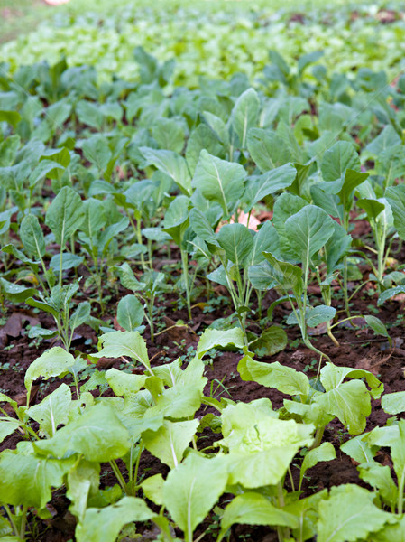 Orgânico legumes crescente primavera comida folha Foto stock © clearviewstock