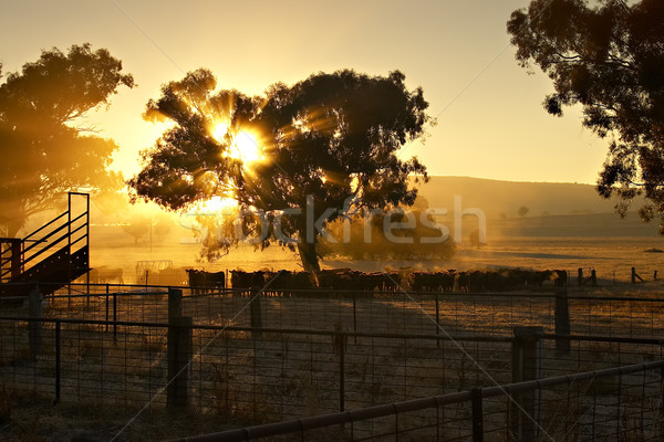 Early Morning Cattle Stock photo © clearviewstock