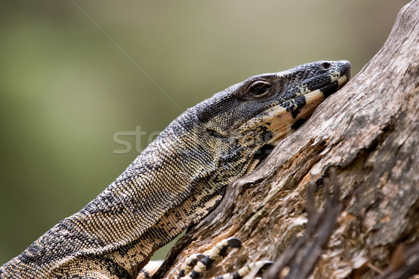 tired goanna  Stock photo © clearviewstock