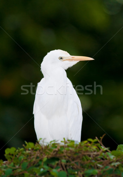 cattle egret bird on bush Stock photo © clearviewstock