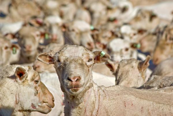 Koyun kamera dışarı Stok fotoğraf © clearviewstock
