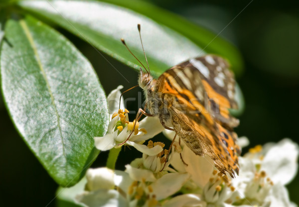 monarch butterfly Stock photo © clearviewstock