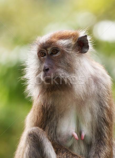 Majom kicsi fa arc ül Malajzia Stock fotó © clearviewstock