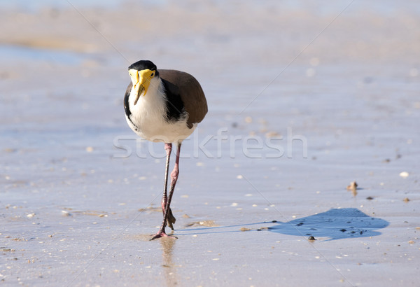 masked lapwing on beach Stock photo © clearviewstock