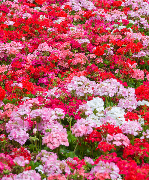 Geraniums floral background Stock photo © clearviewstock