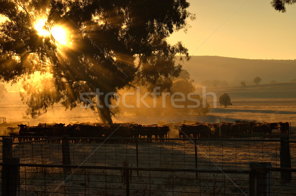 morning cattle Stock photo © clearviewstock