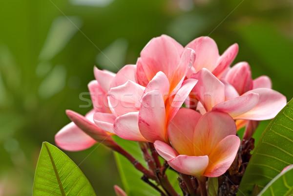 frangipani Stock photo © clearviewstock