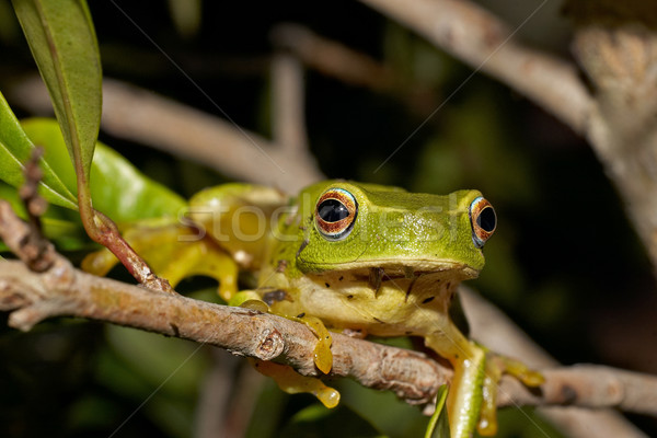 green tree frog Stock photo © clearviewstock