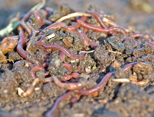 garden worms Stock photo © clearviewstock