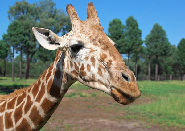 giraffe Stock photo © clearviewstock