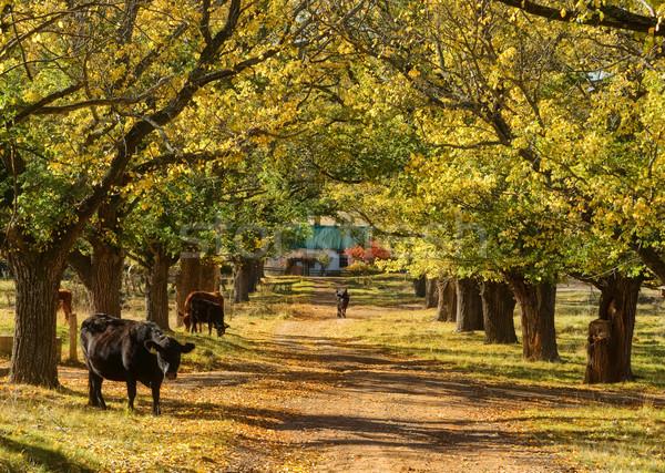 Vaca árvores estrada imagem vacas Foto stock © clearviewstock