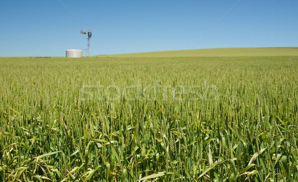 小麦 草 緑 成長 国 ストックフォト © clearviewstock