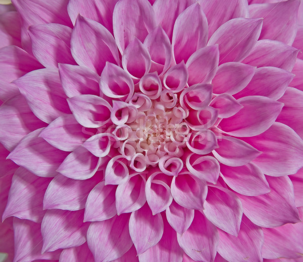 pink dahlia flower Stock photo © clearviewstock