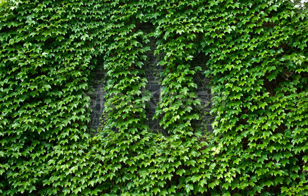 covered in ivy Stock photo © clearviewstock