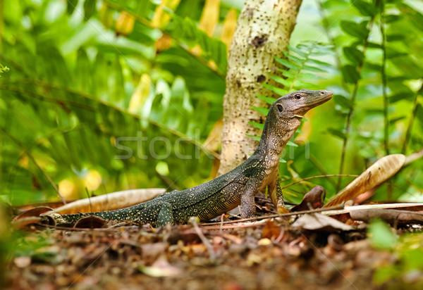 Stock photo: goanna lizard in undergrowth