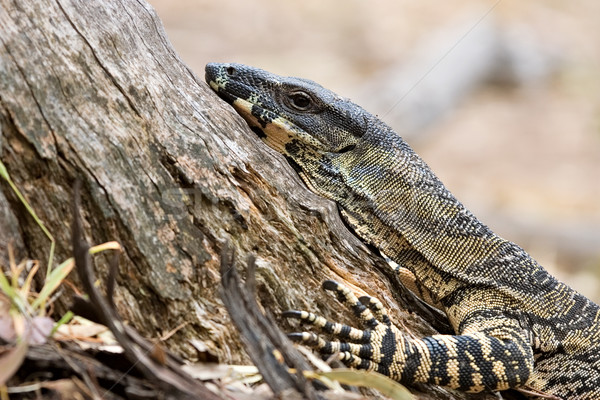 lace monitor Stock photo © clearviewstock