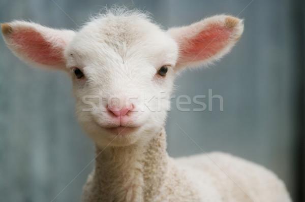 Jóvenes cordero granja imagen Foto stock © clearviewstock