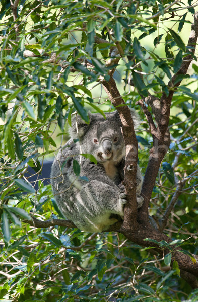 Koala arbre gomme Photo stock © clearviewstock