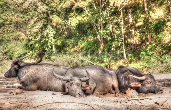 sleeping water buffalo Stock photo © clearviewstock
