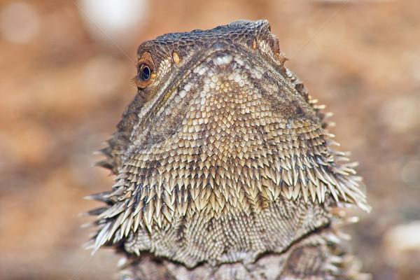 lizard head raised Stock photo © clearviewstock