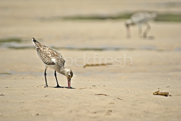 sand piper Stock photo © clearviewstock