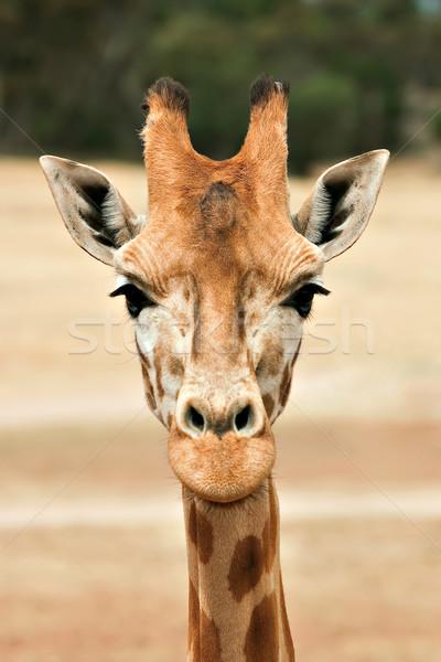 giraffe at eye level Stock photo © clearviewstock