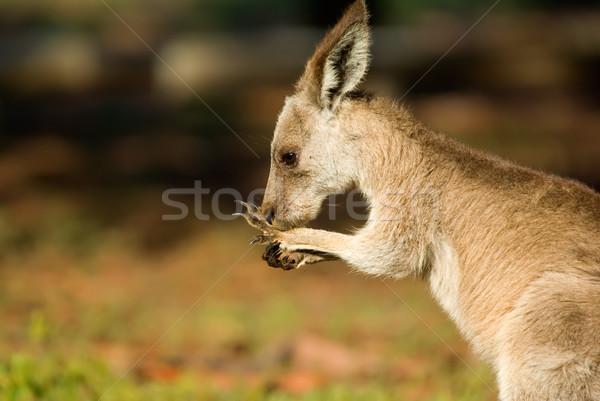 Keleti szürke kenguru kép kicsi vad Stock fotó © clearviewstock