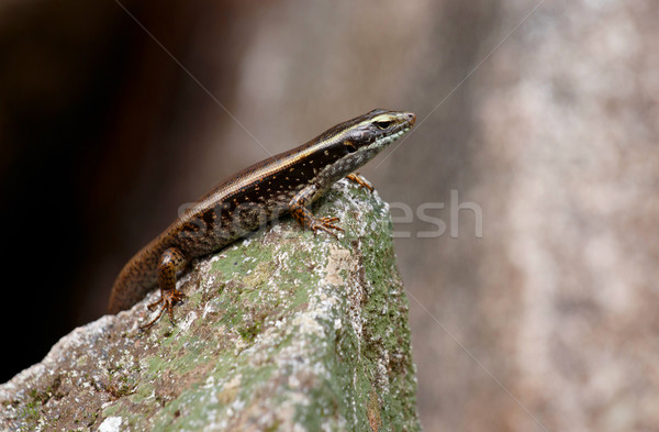 skink lizard on a rock Stock photo © clearviewstock