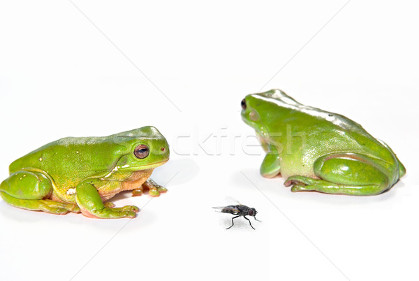 two green tree frogs and a fly Stock photo © clearviewstock