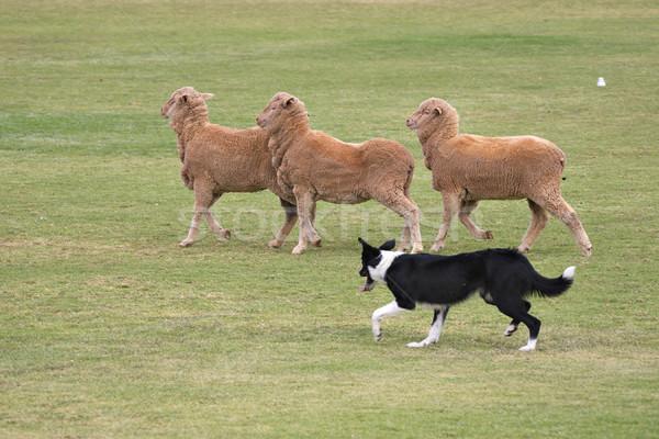 охлаждающей породы собак назначение пастух для скота видео описание Мурзика